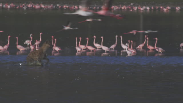 pan with hyena running through shallows with flamingoes in background - brown stock videos & royalty-free footage