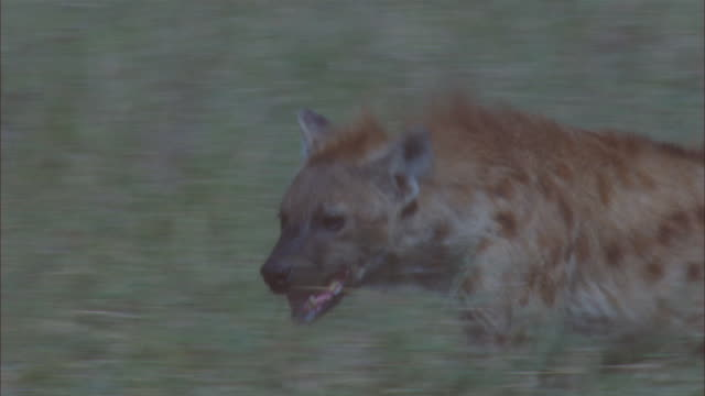 CU PAN with Hyena running up to kill and running off with meat