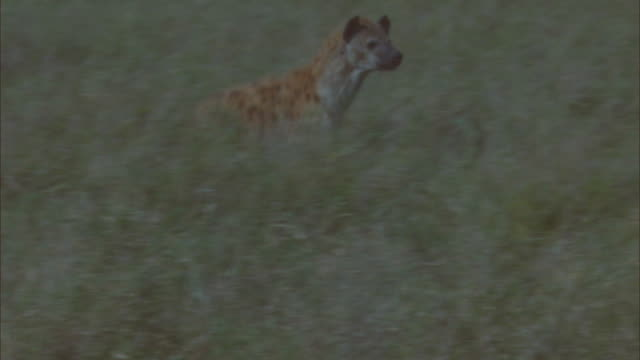 PAN with Hyena running up to wildebeest kill and running off with leg