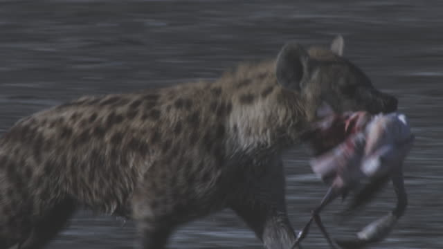 cu pan with hyena running with flamingo in its jaws - brown stock videos & royalty-free footage
