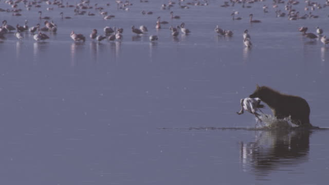 pan with hyena walking through shallows with flamingo in its mouth and in background - brown stock videos & royalty-free footage