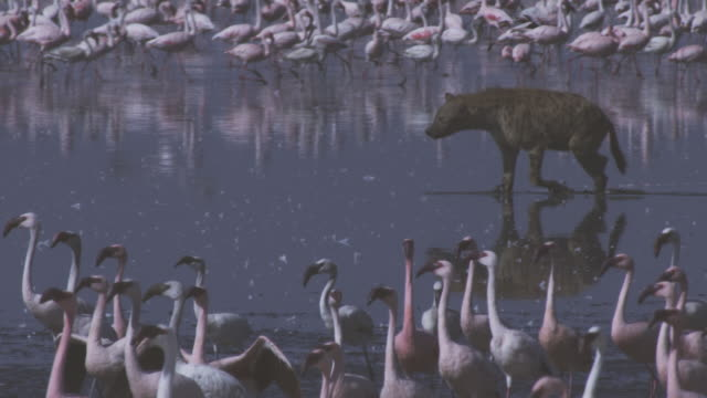 pan with hyena walking through shallows with flamingoes in foreground and background as it stops to defaecate - defecating stock videos and b-roll footage