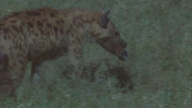 PAN with Hyena walking up to wildebeest kill and vultures and running off with leg ZI to CU