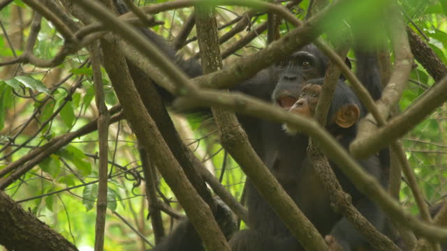 cu tu with juvenile chimpanzee climbing through branches - three animals stock videos & royalty-free footage