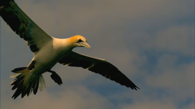 slomo la cu pan with juvenile gannet flying in profile - gannet stock videos & royalty-free footage
