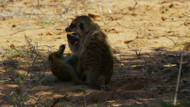 pan with juvenile meerkats play fighting in shade of tree - piccolo gruppo di animali video stock e b–roll