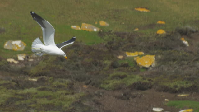 TD with Kelp Gull as it dives down onto Rockhopper Penguin colony
