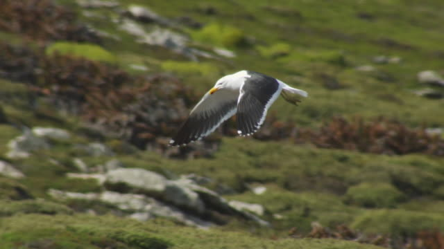 PAN with Kelp Gull as it flies and glides over moorland by Rockhopper Penguin colony