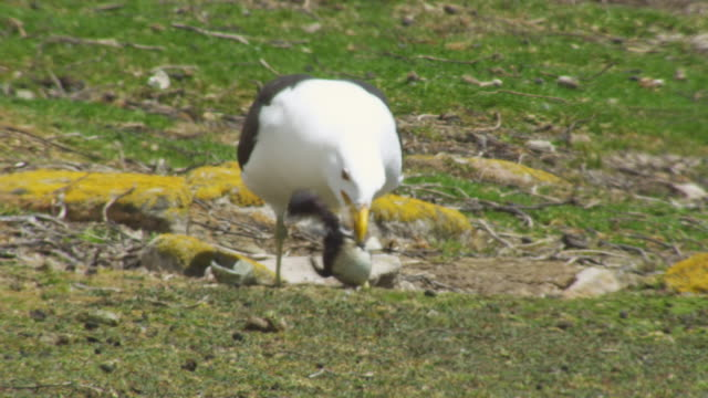 PAN with Kelp Gull as it flies with Rockhopper Penguin egg in its beak then eats chick from egg