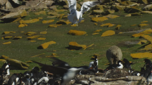 pan with kelp gull as it hovers then flies over rockhopper penguin colony - sea bird stock videos and b-roll footage