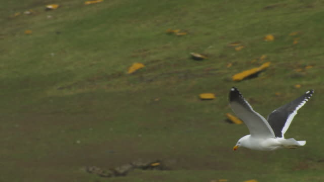 SLOMO MS PAN with Kelp Gull flying over moorland