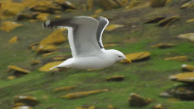 vídeos de stock e filmes b-roll de slomo ms pan with kelp gull flying over moorland - ilhas malvinas