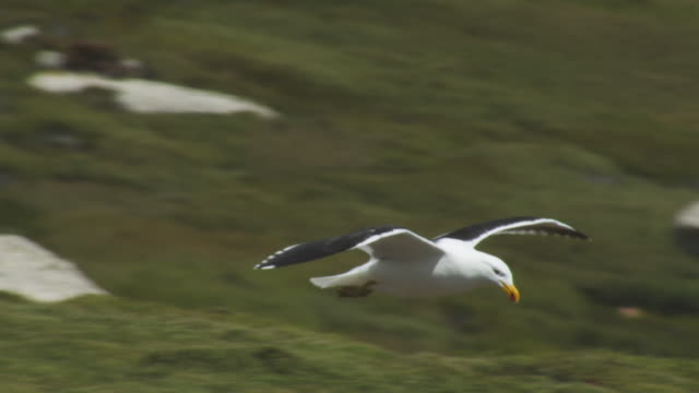 PAN with Kelp Gull gliding over Rockhopper Penguin colony and looking down intently