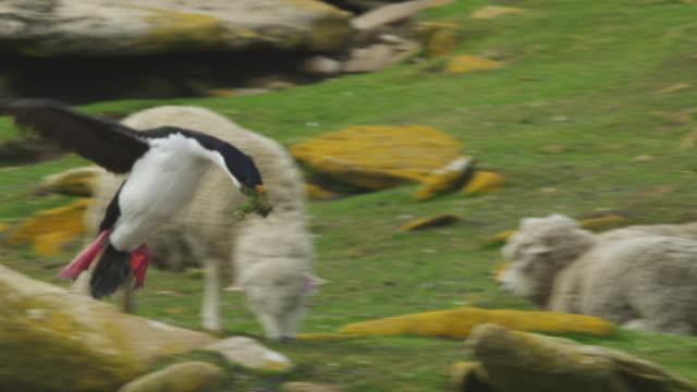 stockvideo's en b-roll-footage met slomo pan with king cormorant landing in colony with nest material in its beak - cormorant
