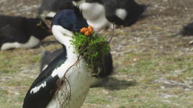 stockvideo's en b-roll-footage met slomo cu pan with king cormorant walking through colony with nest material in its beak - cormorant