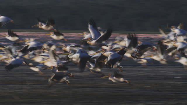 PAN with large flock of Great White Pelicans taking off from Lake Nakuru with Flamingoes in background