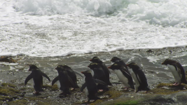 pan with large group of rockhopper penguins hopping down rocks and into heavy surf - gruppo medio di animali video stock e b–roll
