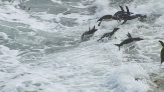 pan with large group of rockhopper penguins struggling to land in heavy surf and hopping up rock - surf rock stock videos & royalty-free footage