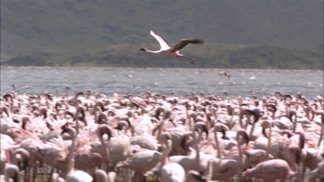 slomo pan with lesser flamingo flying over flock - flamingo bird stock videos & royalty-free footage