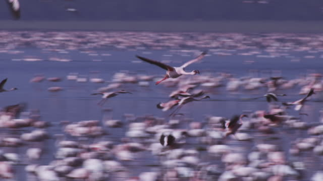 PAN with Lesser Flamingo flying over lake then landing amongst flock
