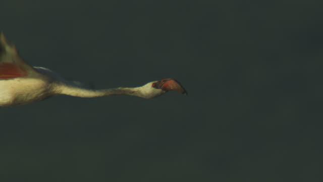 slomo cu pan with lesser flamingo flying with vegetation in background - 翼を広げる点の映像素材/bロール