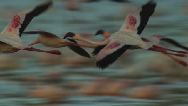 ms pan with lesser flamingo group flying in profile low over lake bogoria and landing in flock - arrival stock videos & royalty-free footage