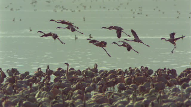 vídeos de stock, filmes e b-roll de slomo pan with lesser flamingo group landing with flock in foreground - fauna silvestre