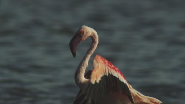 stockvideo's en b-roll-footage met cu pan with lesser flamingo walking on shoreline - dierlijke mond