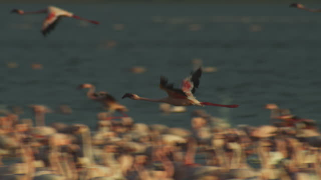 PAN with Lesser flamingoes flying and landing amongst flock