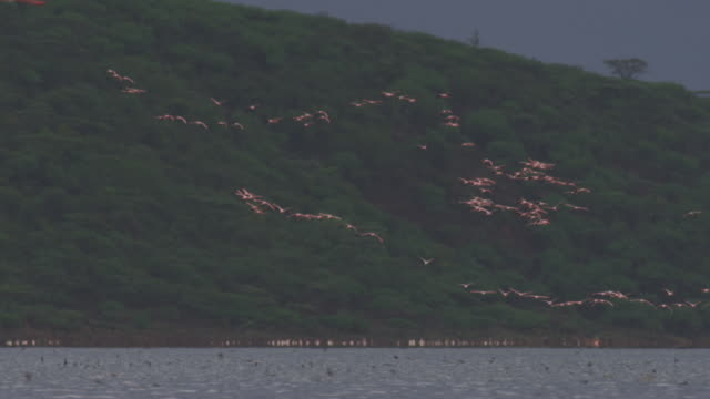 ws pan with lines of african lesser flamingoes flying over flock on lake bogoria - formation flying stock videos & royalty-free footage