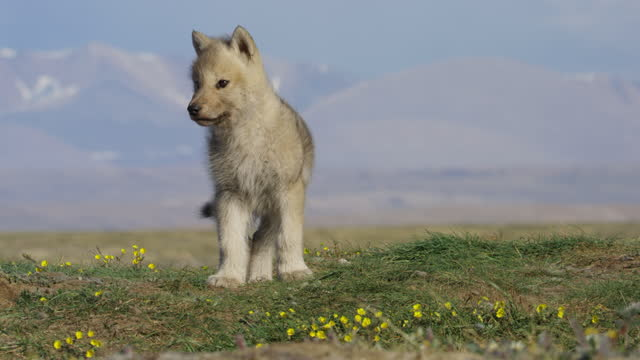 slomo pan with lone arctic wolf cub looking around then trotting in profile across tundra - one animal stock videos & royalty-free footage