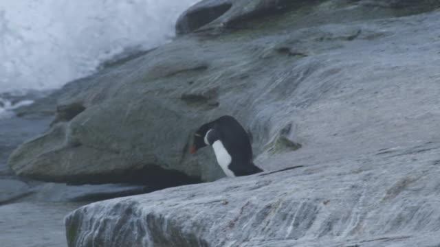 slomo ms pan with lone rockhopper penguin climbing down rocks away from camera - atlantikinseln stock-videos und b-roll-filmmaterial