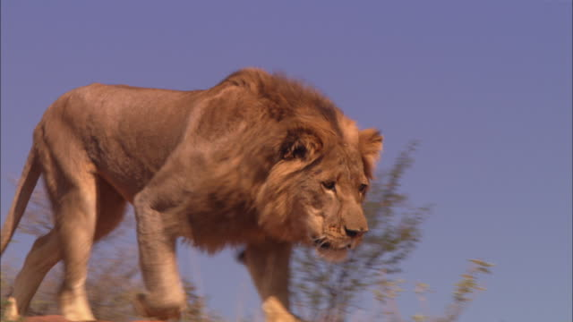 PAN with male African lion as he runs down rocky outcrop very close to camera