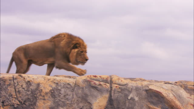 cu pan with male african lion as it runs aggressively across top of rock then stops and looks out - lion stock videos & royalty-free footage