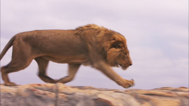 CU PAN with male African lion as it runs aggressively across top of rock