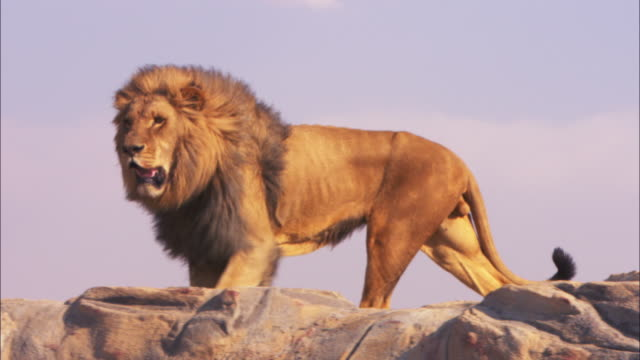 LA MS PAN with male African lion as it walks to edge of rock and looks around