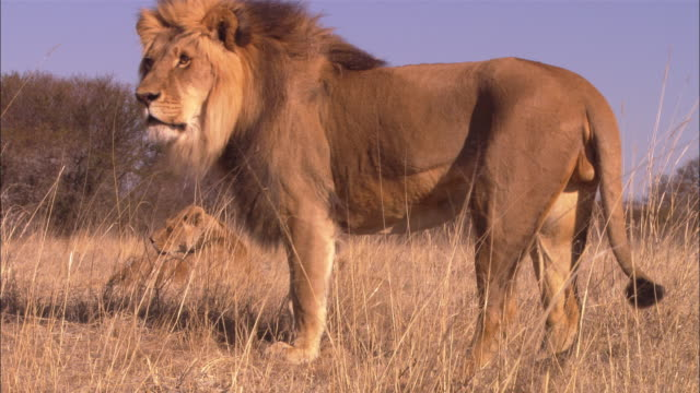 vidéos et rushes de ms pan with male african lion walking through long grass with lioness in background - lion