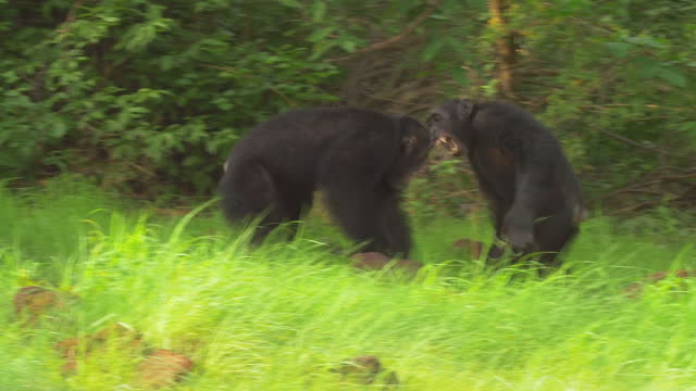 ms pan with male chimpanzees fighting in grass on edge of forest - males stock videos & royalty-free footage