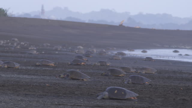 stockvideo's en b-roll-footage met pan with massed group of female olive ridley turtles crawling up beach  - ernstig bedreigde soorten