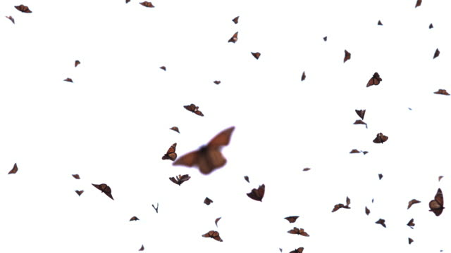 vídeos de stock e filmes b-roll de la with massed monarch butterflies flying with white sky background - borboleta