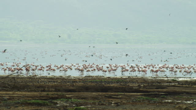 pan with massed swallows as they take off from shoreline with flamingoes in background at lake bogoria - panning video stock e b–roll