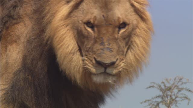 la cu pan with mature african lion walking on dry grassland - safari animals stock videos & royalty-free footage