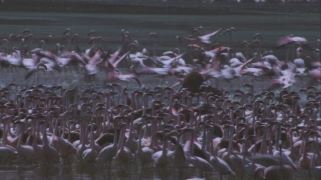 pan with mature olive baboon attacking a huge flock of flamingoes and dragging one along the rocks in its jaws then sitting and killing it - flamingo bird stock videos & royalty-free footage