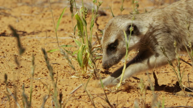 cu pan with meerkat foraging and digging - foraging stock videos & royalty-free footage