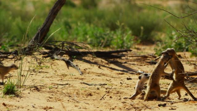 vídeos y material grabado en eventos de stock de pan with meerkat pups and juveniles play fighting - grupo pequeño de animales