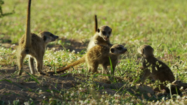 pan with meerkat pups and juveniles play fighting - medium group of animals stock videos & royalty-free footage