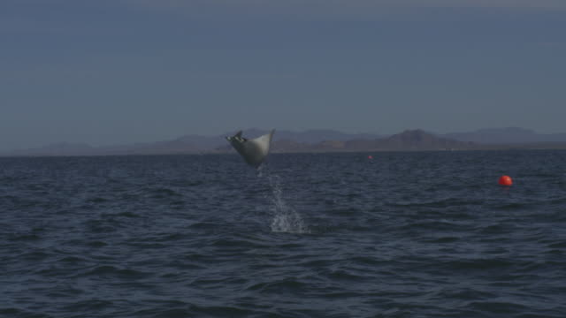 SLOMO PAN with Mobula Ray leaping from water in open sea