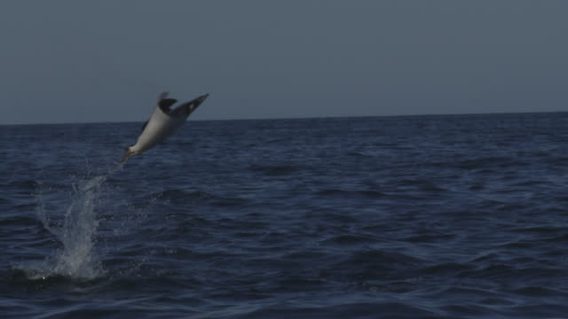 SLOMO MS PAN with Mobula Ray leaping from water in profile in open sea