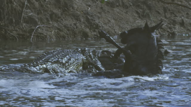 SLOMO PAN with Nile crocodile dragging a struggling Wildebeest towards riverbank