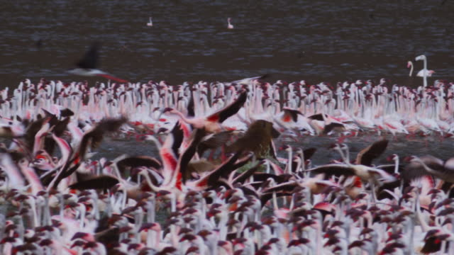 PAN with Olive baboon running through shallows with flamingoes taking off in foreground
